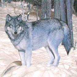 Жили волк и лиса у волка избушка
