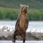 Медведь великан