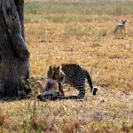 Леопард и шакал