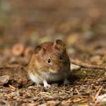 Гордая мышь